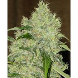 Bubble Gum reg - Serious Seeds