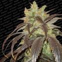 Spoetnik 1 fem - Paradise Seeds