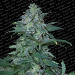 Magic Bud fem - Paradise Seeds