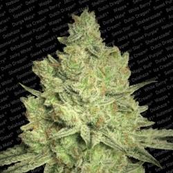 Jacky White fem - Paradise Seeds