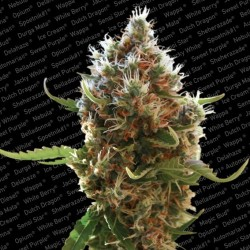 Lucid Bolt fem - Paradise Seeds