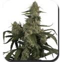 QUASAR fem - Buddha Seeds