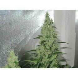 Y Griega fem - Medical Seeds