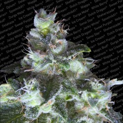 Original White Widow IBL fem - Paradise Seeds