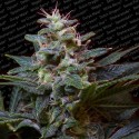 Sweet Purple fem - Paradise Seeds