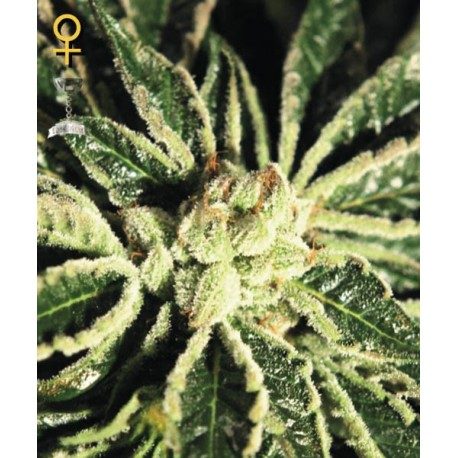 Kaia Kush fem - Green House Seeds