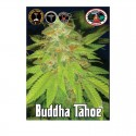Buddha Tahoe fem - Big Buddha Seeds