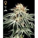 White Widow fem - Green House Seeds