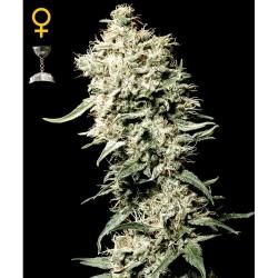 White Rhino fem - Green House Seeds