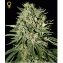 The Doctor fem - Green House Seeds