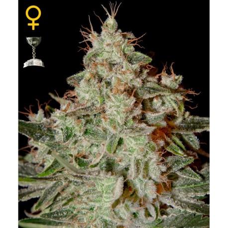 Lemon Skunk fem - Green House Seeds