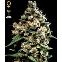Jack Herer fem - Green House Seeds