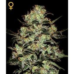 Moby Dick fem - Green House Seeds