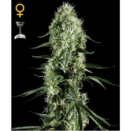 Super Silver Haze fem - Green House Seeds