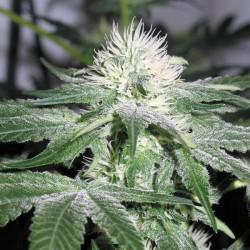 Ice fem - Female Seeds
