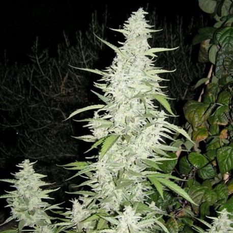 Maroc fem - Female Seeds