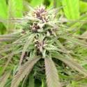 Purple Maroc fem - Female Seeds