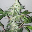 Girl Scout Cookies - The Cali Connection