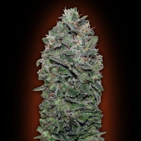 Sweet Soma fem - 00 Seeds