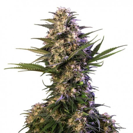 KRAKEN fem - Buddha Seeds