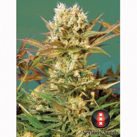 Motavation fem - Serious Seeds