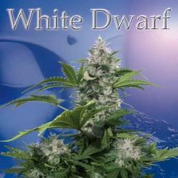White Dwarf REG. - Buddha Seeds