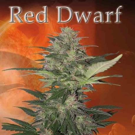 RED DWARF REG. - Buddha Seeds