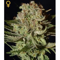 Super Bud fem - Green House Seeds
