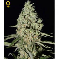 Super Critical fem - Green House Seeds