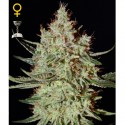 K-Train fem - Green House Seeds