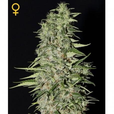 Diamond Girl fem - Green House Seeds