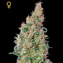 Green-O-Matic auto - Green House Seeds