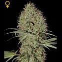 Super Bud auto - Green House Seeds