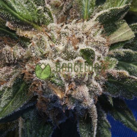 Burmese Kush reg. - TH Seeds