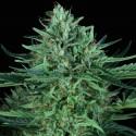 Cold Creek Kush reg. - TH Seeds