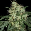 Lambo reg. - TH Seeds