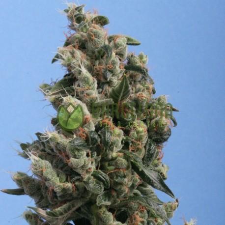 Kushage reg. - TH Seeds