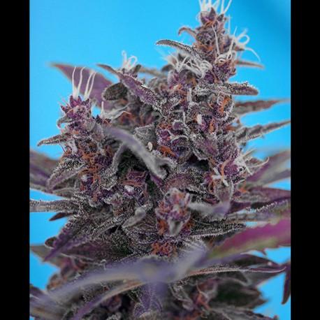 Black Cream auto - Sweet Seeds