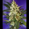 Fast Bud 2 auto - Sweet Seeds