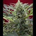 Cream 47 fem - Sweet Seeds