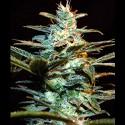 Ice Cool fem - Sweet Seeds