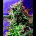 Jack 47 Fast Version - Sweet Seeds