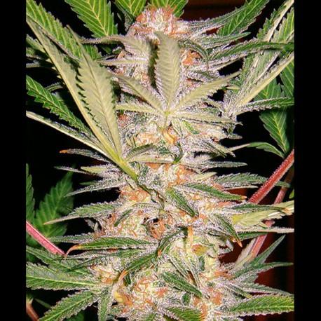 SAD fem (Sweet Afgani Delicious S1) - Sweet Seeds