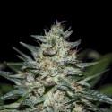 Kush-G REG. - Natural Genetics Seeds
