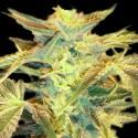 Ohio Lemon G BX1 REG. - Natural Genetics Seeds