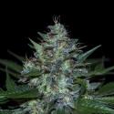 C 13 REG. - Natural Genetics Seeds