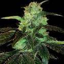 Malana Lemon Hashplant REG. - Natural Genetics Seeds