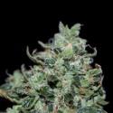Double Mint REG. - Natural Genetics Seeds