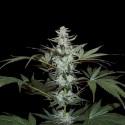 Devil Cookies REG. - Natural Genetics Seeds