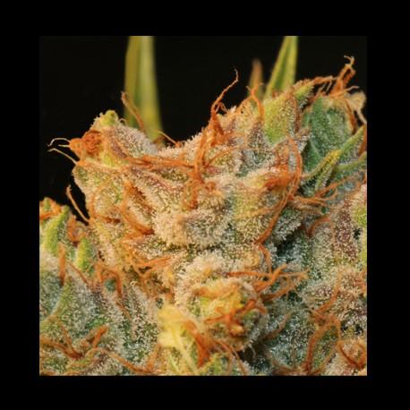 MK-Ultra Kush Bubble - TH Seeds